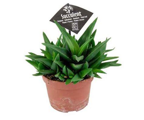 pflanzen für drinnen pflanzenbasics de lexikon f 252 r kr 228 uter und pflanzen