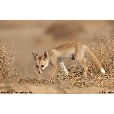 Pin Desert-fox on Pinterest
