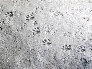 cat tracks bobcat tracks dfw wildlife