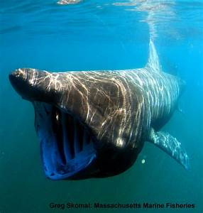 BC Shark and Skate Reports: Basking Sharks