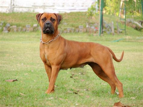 do rhodesian ridgebacks drool astrid of argos gyc rhodesian ridgebacks and bullmastiff