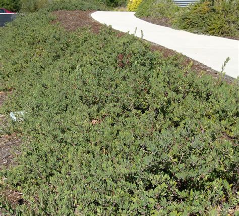 ground covering california native plant ground cover plants
