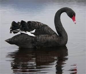 Bird Sightings : Black Swan
