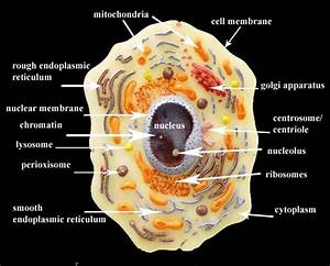 Lymphatic Cell Diagram
