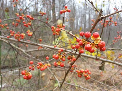 bittersweet plant itsy bitsy spiders oriental bittersweet in fall