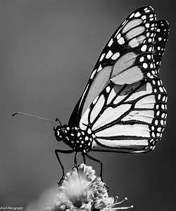 Butterfly in Mono   My Camera Journal