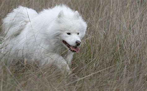 do samoyed huskies shed large dogs with curled breeds picture