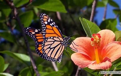 Butterfly Desktop Wallpapers Flower Background 3d Hibiscus