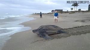 World's Largest Sea Turtle! Giant Leatherback Sea Turtle ...