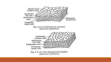 stratified columnar epithelium diagram world  reference