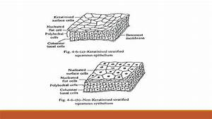 Types Of Epithelial Tissue  Simple  Compound And
