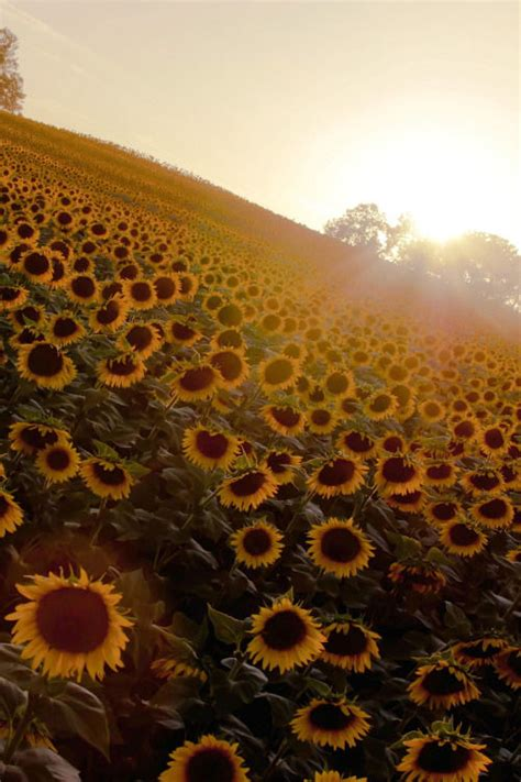sunflower sunrise pictures   images
