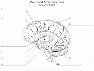 46 Parts Of The Brain Worksheet  Parts Of The Brain And