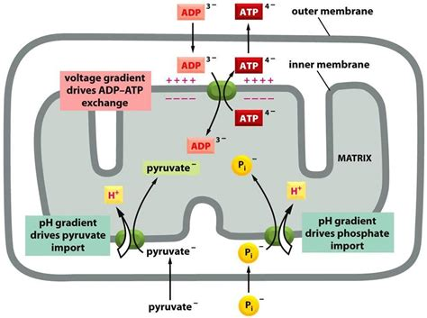Generation Of Proton Gradients Across Membranes by Chapter 14 Energy Generation In Mitochondria At