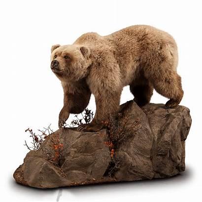Bear Brown Mount Taxidermy Kanati Br126 Freeform