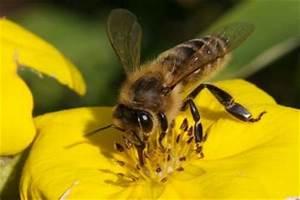 Пчелиный подмор на спирту для потенции