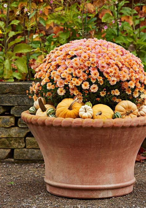 How to Grow & Care for Fall Mums + Guide to Types of Mums ...
