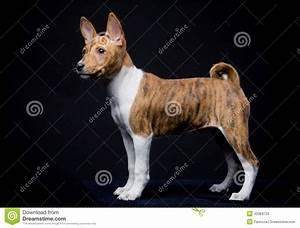 Little Basenji Puppy On The Black Background Stock Image ...
