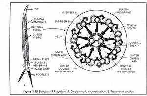 Ys 2876  Diagram Of Cilia Download Diagram