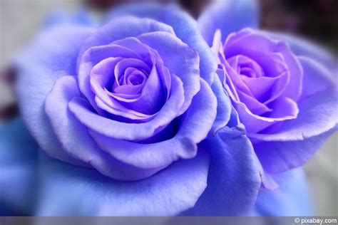 blaue mohnblume bedeutung was bedeuten blaue bedeutung in der sprache der liebe hausgarten net