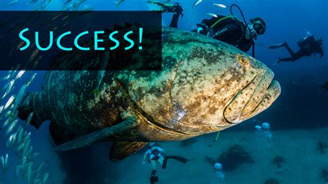grouper goliath save help data september posted info
