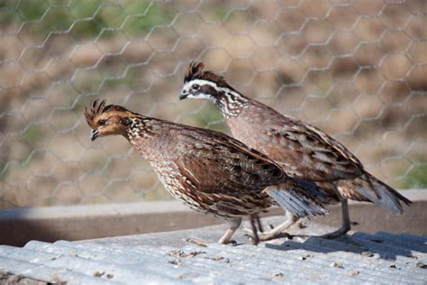 best 28 how do quail live where when do quails nest