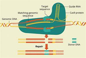 Targeted Genome Editing With Crispr