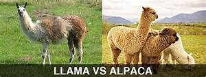 Difference Between Llama and Alpaca? - Peru Hop