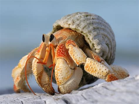 bernard l hermite aquarium bernard l hermite geo fr
