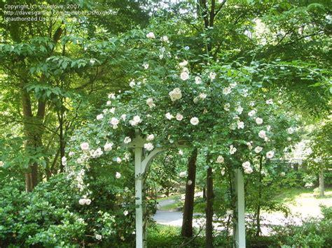 Plantfiles Pictures Hybrid Wichurana, Largeflowered