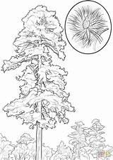 Pine Coloring Tree State Minnesota Trees Drawing Coconut Printable Cedar Louisiana Line Cone Draw Alabama Aspen Getdrawings sketch template