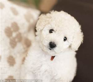 Cute White Poodle Puppy
