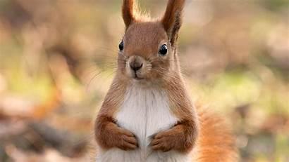 Desktop Animal Funny Background Squirrel Brown Attractive