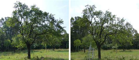 Pflaumenbaum Richtig Pflanzen Und Pflegen by Pflaumenb 228 Ume Schneiden