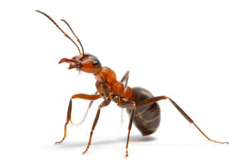 Ants   Pest Control Sydney