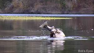 Do Harbor Seals Eat Big fish? | Bob's Eyes