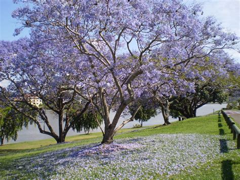 jacaranda tree the house that a m built jacarandas and the psychological damage of it all