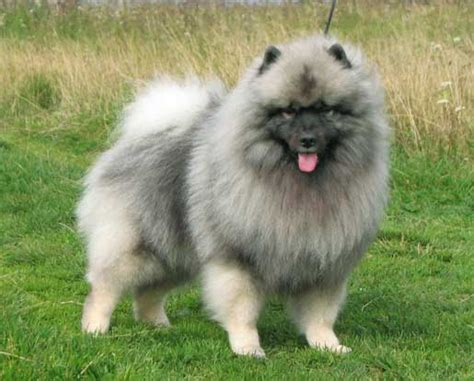 dogs that dont shed keeshond keeshond alldogsworld