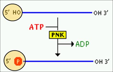 The Enzyme Uses Atp To Unwin Dna Template by Enzymes In Rdna Or Recombinant Dna Technology Biology