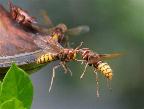 european hornets at hummingbird feeder what s that bug