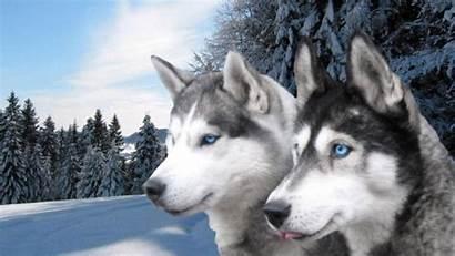 Siberian Huskies Wallpapers Husky Background