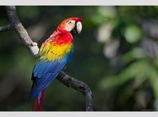 National Bird Of Honduras Scarlet Macaw 123Countriescom