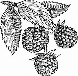 raspberries | Coloring pages | Pinterest