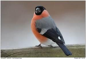 Vogel Mit Roter Brust : vogel rote brust rotkehlchen v gel beobachten und v gel bestimmen am futterplatz teil 2 vogel ~ Eleganceandgraceweddings.com Haus und Dekorationen