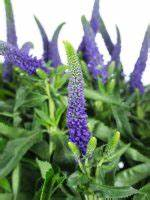 Welche Blumen Blühen Im August : blaue blumen welche schnittblumen bl hen blau blumigo ~ Orissabook.com Haus und Dekorationen