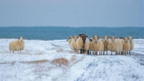 Sheep Cote Clod Bing Wallpaper Download