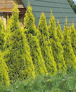 Thuja Smaragd Düngen : buy thuja cypress golden smaragd ~ Michelbontemps.com Haus und Dekorationen