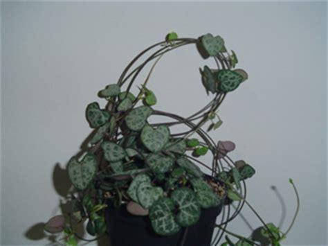 ceropegia woodii subsp woodii  bloemewinkel