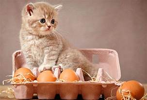 can cats eat chicken foods your cat can eat pictures