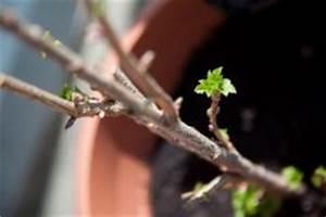 Wann Johannisbeeren Pflanzen : johannisbeeren hochstamm schneiden so geht 39 s ~ Orissabook.com Haus und Dekorationen
